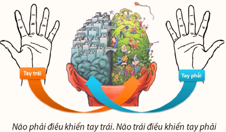 Tay trái não phải - Tay phải não trái